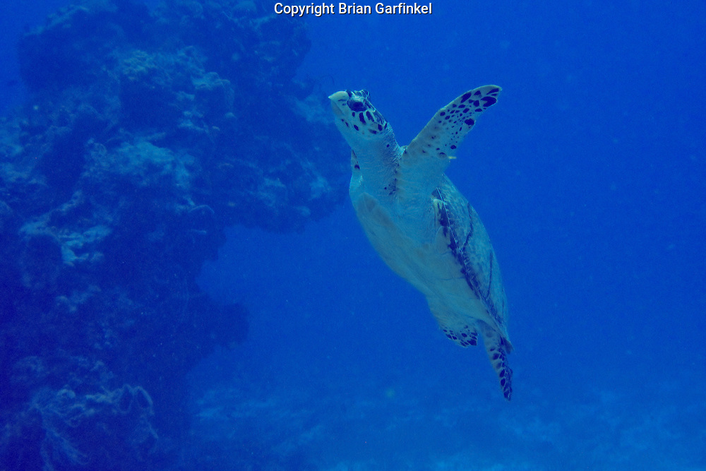 A sea turtle seen while scuba diving in Cozumel, Mexico