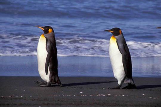 King Penguin, (Aptenodytes p.patagonica) Along shoreline of South Georgia Island.