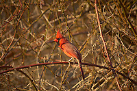 Male Cardinal Sunning in the Late Afternoon Sun. Waiting for Spring in New Jersey. Image taken with a Nikon D2xs and 80-400 mm VR lens (ISO 200, 400 mm, f/5.6, 1/320 sec).