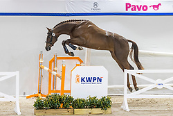 089, Saltador Ter Putte<br /> KWPN Hengstenkeuring 2021<br /> © Hippo Foto - Dirk Caremans<br />  02/02/2021
