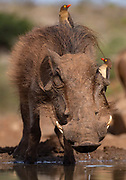Common warthog (Phacochoerus africanus) with red-billed oxpeckers (Buphagus erythrorhynchus). Zimanga, South Africa.