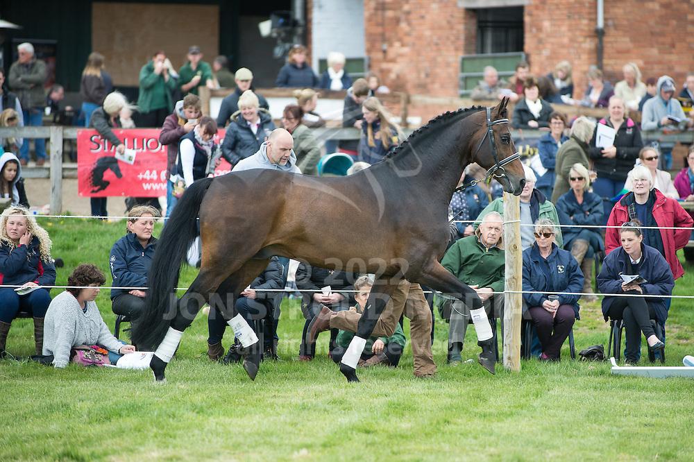 Serano Gold, Oldenburg, - Stallion Ai & Twemlows Stud Farm Annual Open Day & Stallion Parade - Twemlows Hall, Whitchurch, Shropshire, United Kingdom - 25 April 2015
