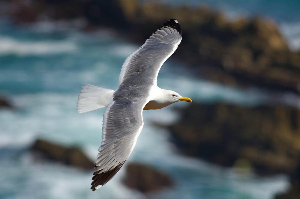 Larus cachinnans - seagull at Cape - Cabo Sardão, Southwest Alentejo and Vicentine Coast Natural Park, Portugal