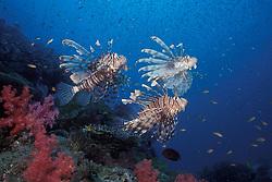 A trio of Indian Lionfish, Pterois muricata, work together to herd baitfish. Similan Islands Marine National Park, Thailand, Andaman Sea