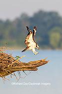 00783-01907 Osprey (Pandion haliaetus) landing at nest Rend Lake Jefferson Co. IL