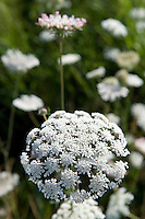Queen Anne's Lace along the Conencticut River, North Cove, Old Saybrook, CT