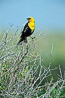 A male Yellow-headed Blackbird (Xanthoecphalus xanthoecphalus) bright yellow hood with black body.  Wetlands habitat around Cotton Lake in the San Luis Valley, Colorado.