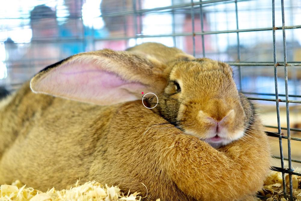 Fat Rabbit Bunny County Fair