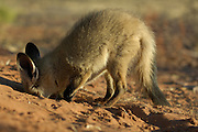 Bat-eared fox (Otocyon megalotis) | Im Alter von zwei Monaten wird der junge Löffelhund noch von der Mutter gesäugt - noch für weitere sechs Wochen wird er davon abhängig sein - aber er übt schon sehr erfolgreich das Aufspüren und Ausgraben von im Boden verborgenen Insekten. Löffelhunde horchen mit senkrecht nach unten hängendem Kopf nach verborgener Beute, lokalisieren sie  mit den ausgerichteten Ohren und beginnen sehr exakt mit schnellen Bewegungen und langen Krallen zu graben. Ihre Technik öffnet selbst in hartem Untergrund recht schnell einen schmalen Graben und führt meist zum Erfolg.