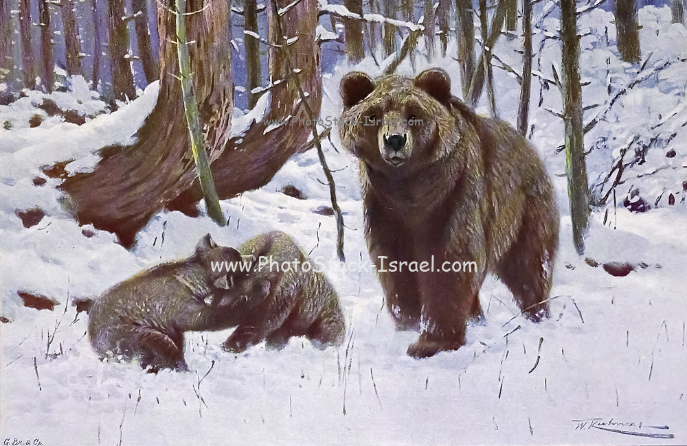 The brown bear (Ursus arctos here as Ursus arctus) is a large bear species found across Eurasia and North America. In North America, the populations of brown bears are called grizzly bears, while the subspecies that inhabits the Kodiak Islands of Alaska is known as the Kodiak bear. It is one of the largest living terrestrial members of the order Carnivora, rivaled in size only by its closest relative, the polar bear (Ursus maritimus), which is much less variable in size and slightly bigger on average.[3][4][5][6][7] The brown bear's range includes parts of Russia, Central Asia, China, Canada, the United States, Hokkaido, Scandinavia, the Balkans, the Picos de Europa and the Carpathian region (especially Romania), Iran, Anatolia, and the Caucasus. from the book '  Animal portraiture ' by Richard Lydekker, and illustrated by Wilhelm Kuhnert, Published in London by Frederick Warne & Co. in 1912