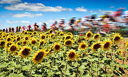 July 15, 2017 - Rodez, FRANCE - The pack of riders pass by a field of sunflowers during the 14th stage of the 104th edition of the Tour de France cycling race, 181,5 from Blagnac to Rodez, France, Saturday 15 July 2017. This year's Tour de France takes place from July first to July 23rd. BELGA PHOTO DAVID STOCKMAN (Credit Image: © David Stockman/Belga via ZUMA Press)