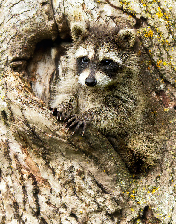 """Baby raccoon crawling out of a tree hole.<br /> <br /> Available sizes:<br /> 11"""" x 14"""" print <br /> 11"""" x 14"""" canvas gallery wrap <br /> <br /> See Pricing page for more information. Please contact me for custom sizes and print options including canvas wraps, metal prints, assorted paper options, etc. <br /> <br /> I enjoy working with buyers to help them with all their home and commercial wall art needs."""