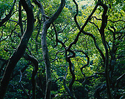 Tropical rain forest near Wailua Falls, Island of Maui, Hawaii.