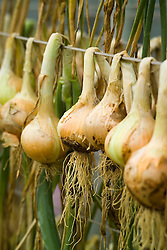 Onions hung up to dry