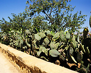 Prickly pear Opuntia cactus plant with names carved onto leaves Akragas, Agrigento, Sicily, Italy in 1999