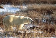 Polar Bear (Ursus maritimus) walking on tundra, Churchill MB