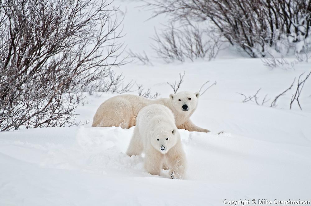 Polar bear sow and cub Ursus maritimus on frozen tundra<br />Churchill<br />Manitoba<br />Canada