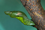 Lime Swallowtail Butterfly Pupae, Papilio demoleus, hanging from stem, Lemon, Small Citrus, Chequered, Dingy