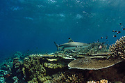 Blacktip Reef Shark (Carcharhinus melanopterus)<br /> In shallow water on coral reef<br /> Benga Lagoon, Viti Levu<br /> Fiji. South Pacific