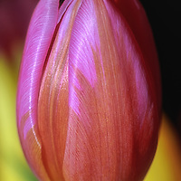 """""""Single and Beautiful""""<br /> <br /> Gorgeous and colorful single tulip in spring time!"""