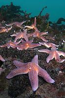 Common starfish, Asterias rubens.Atlantic marine life, Saltstraumen, Bodö, Norway