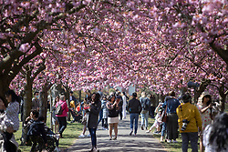 © Licensed to London News Pictures. 24/04/2021. London, UK. Members of the public walk and take pictures in an avenue of cherry blossom trees during sunny weather in Greenwich Park in south east London. Temperatures are expected to rise with highs of 16 degrees forecasted for parts of London and South East England today . Photo credit: George Cracknell Wright/LNP