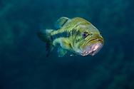Largemouth Bass<br /> <br /> Jennifer Idol/Engbretson Underwater Photography
