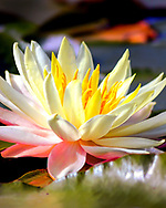Close-up of a yellow white and pink lotus flower.