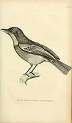 Platyrhynchus olivaceus from volume XIII (Aves) Part 2, of 'General Zoology or Systematic Natural History' by British naturalist George Shaw (1751-1813). Griffith, Mrs., engraver. Heath, Charles, 1785-1848, engraver. Stephens, James Francis, 1792-1853 Published in London in 1825 by G. Kearsley
