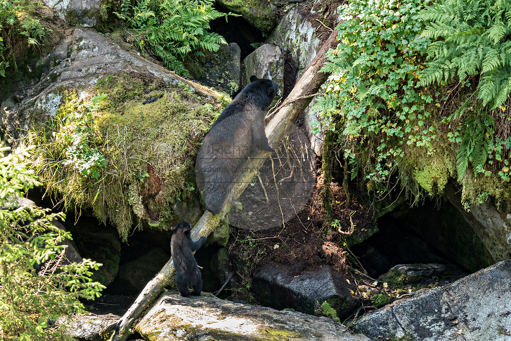 An adult American black bear sow leads her cub up a fallen log at Anan Creek in the Tongass National Forest, Alaska. Anan Creek is one of the most prolific salmon runs in Alaska and dozens of black and brown bears gather yearly to feast on the spawning salmon.