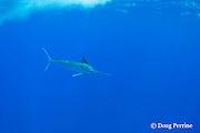 free-swimming blue marlin, Makaira nigricans, Vava'u, Kingdom of Tonga, South Pacific