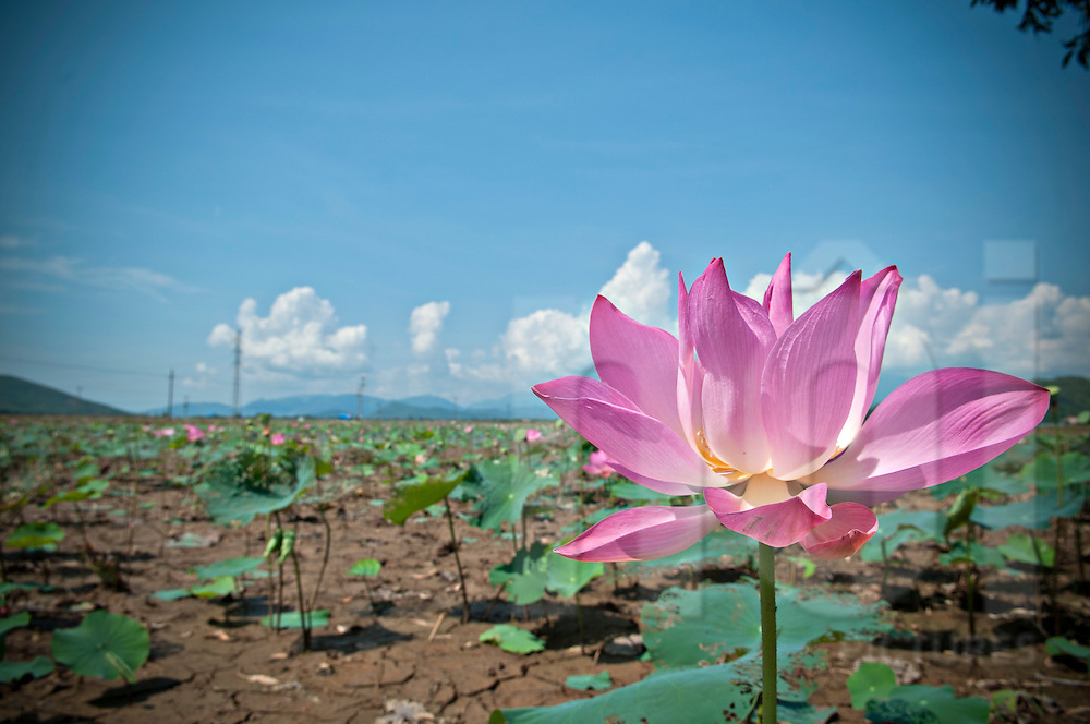 Pink lotus flower thrives in a dry field, Vietnam, Southeast Asia