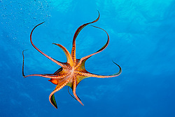 day octopus, Octopus cyanea, Kohala Coast, Big Island, Hawaii, USA, Pacific Ocean