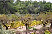 Vineyard. Can Rafols dels Caus, Avinyonet, Penedes, Catalonia, Spain.