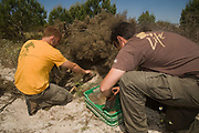 Life Lince (lynx) field technicians, Leonardo Fernandez Pena & ? restocking a Wild Rabbit breeding enclosure. The idea of the enclosure is to augment rabbit densities in areas where they are below threshold for lynx sustainability. Within the breeding enclosure are artificial (lynx proof) rabbit dens which vastly increase carrying  capacity of rabbits. The enclosure is surrounded by a predator-proof fence overwhich the lynx can jump, but through which rabbit predators such as foxes, badgers, mongoose or wild boar cannot pass. <br /> Doñana National & Natural Park. Huelva Province, Andalusia. SPAIN<br /> 1969 - Set up as a National Park<br /> 1981 - Biosphere Reserve<br /> 1982 - Wetland of International Importance, Ramsar<br /> 1985 - Special Protection Area for Birds<br /> 1994 - World Heritage Site, UNESCO.<br /> The marshlands in particular are a very important area for the migration, breeding and wintering of European and African birds. It is also an area of old cultures, traditions and human uses - most of which are still in existance.<br /> <br /> Mission: Iberian Lynx, May 2009<br /> © Pete Oxford / Wild Wonders of Europe<br /> Zaldumbide #506 y Toledo<br /> La Floresta, Quito. ECUADOR<br /> South America<br /> Tel: 593-2-2226958<br /> e-mail: pete@peteoxford.com<br /> www.peteoxford.com