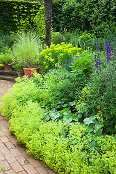 Alchemilla mollis, aconitums and euphorbia in Mrs Winthrop's Garden at Hidcote Manor. Lemon verbena in terracotta pot