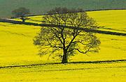 Rape seed crop in a field, England