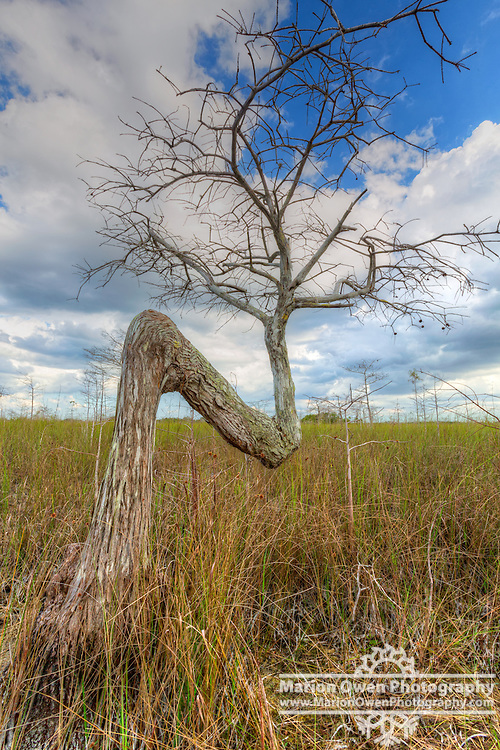 Z Tree, local name for roadside tree growing in the Everglades, Florida