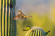 A Brown-crested Flycatcher (Myiarchus tyrannulus) in flight bringing a crushed cidada to its nest in a Saguaro  (Carnegiea gigantea). (Arizona)