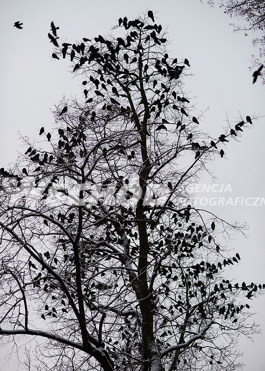 12.01.2013 Bialystok N/z ptaki zbierajace sie wieczorem na nocleg w Parku Branickich fot Michal Kosc / AGENCJA WSCHOD