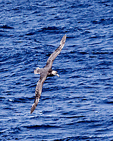 Southern Giant-Petrel (Macronectes giganteus). South Atlantic Ocean. Viewed from the deck of the Hurtigruten MS Fram. Image taken with a Fuji X-T1 camera and 60 mm f/2.8 macro lens.