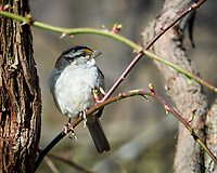 White-throated Sparrow. Image taken with a Nikon 1V1 camera, FT1 adapter, and 200 mm f/2 VR lens (ISO 100, 200 mm, f/8. 1/50 sec).