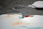 Remains after a Polar Bear has eaten a seal. From 81 degrees north off Spitsbergen, Svalbard.