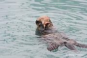sea otter, Enhydra lutris (Endangered Species ), eating starfish ( sea star ), Valdez, Alaska ( Prince William Sound )