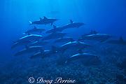 spinner dolphins, Stenella longirostris, Kona, Hawaii ( Pacific Ocean )