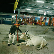 A man blessing a holy cow.