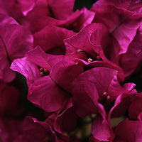 """""""I Feel the Love"""" <br /> <br /> Stunning Paper Bougainvillea floral in deep hues of magenta, and fuchsia! A wonderful low key floral image!"""