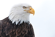 Bald Eagle, portrait Chilkat Bald Eagle Preserve, Haines, Alaska
