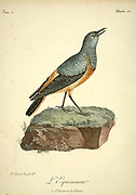 L'ESPIONNEUR The sentinel rock thrush (Monticola explorator) is a species of bird in the family Muscicapidae. It is found in Lesotho, South Africa, and Swaziland. Its natural habitat is subtropical or tropical high-altitude grassland. from the Book Histoire naturelle des oiseaux d'Afrique [Natural History of birds of Africa] Volume 3, by Le Vaillant, François, 1753-1824; Publish in Paris by Chez J.J. Fuchs, libraire 1799 - 1802