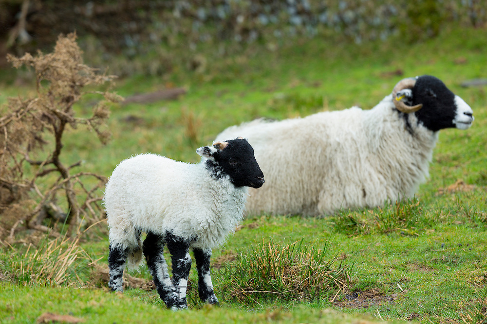 Black faced sheep ewe and lamb - blackface Ovis aries - in Exmoor National Park, Somerset, United Kingdom